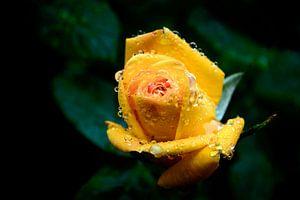 druppels op een gele roos van