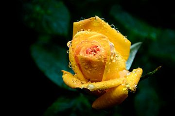 druppels op een gele roos van Yvon van der Wijk