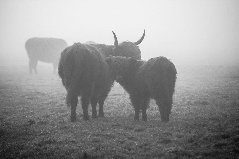 Schotse hooglanders in de mist van Petra Brouwer