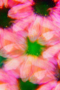 Rosa Echinacea