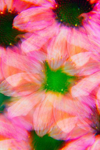 Échinacée rose sur Kaat Zoetekouw
