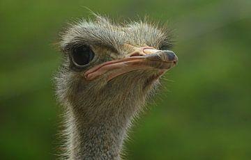 struisvogel van Fraukje Vonk