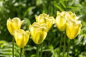 Gelbe Tolpen von Peter Baier