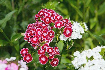 Blüten der Bartnelke von Rudolf Brandstätter