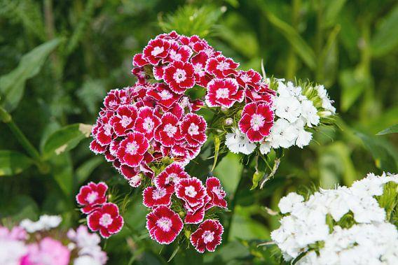 Blüten der Bartnelke