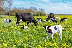 Weiland vol paardenbloemen met bonte koeien en kalfjes van