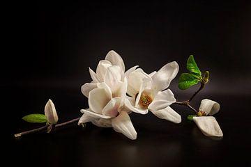 Magnolia, Tony08 von 1x