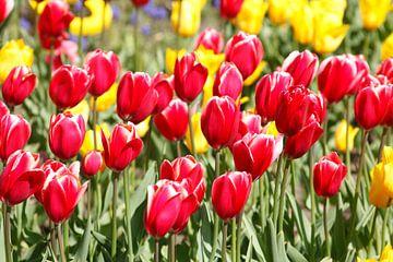 Tulpen von Torsten Krüger