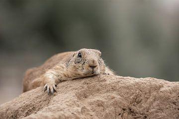Präriehund ruhend auf einem Stein von Jolien Berntsen