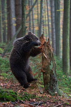 Winnie the Pooh... European Brown Bear *Ursus arctos* van