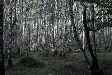 Tussen de berkenbomen van DuFrank Images