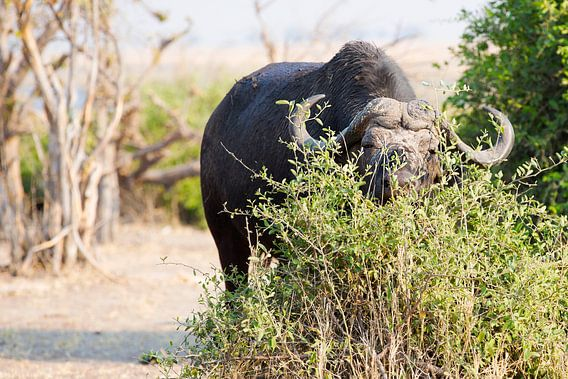 Afrikaanse Buffel aan het ontbijt
