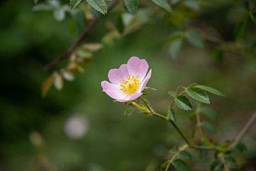 Blüte der Hunds-Rose (Rosa canina) von Fartifos
