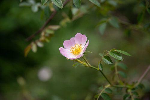 Blüte der Hunds-Rose (Rosa canina)