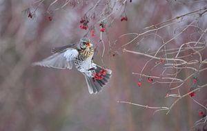 Snoepende Kramsvogel van Kirsten Geerts