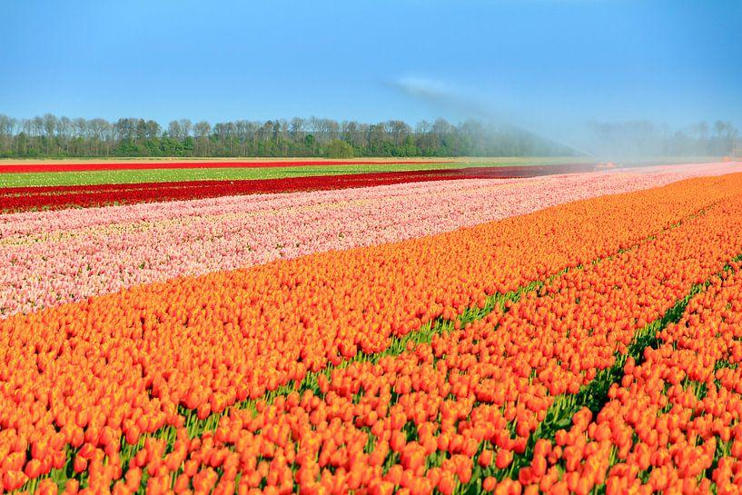 Flevo tulpenveld van Dennis van de Water