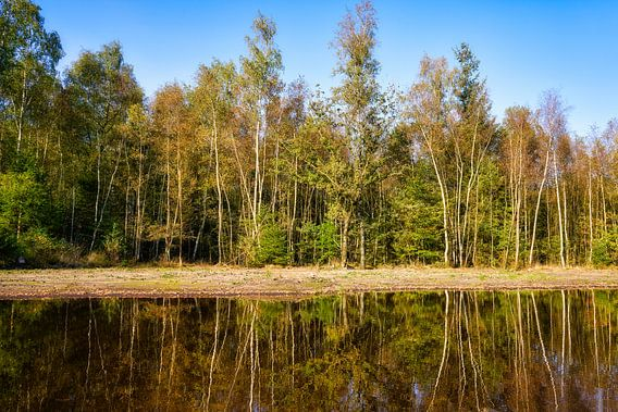 Berkenbomen in het bos tijdens de herfst