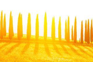 Cypressen laan bij zonsondergang