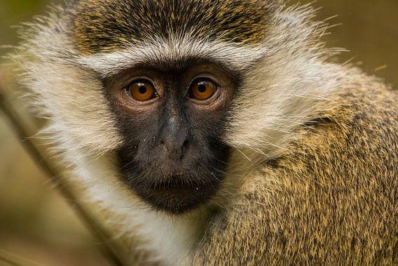 vervet aap in Oeganda