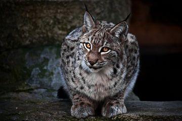 Lynx est un grand chat sauvage à l'allure ironique, le fond sombre est les yeux clairs d'un chat sur Michael Semenov