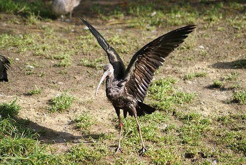 Zwarte ibis van Ronald en Bart van Berkel