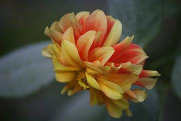 Geel rode bloem van Eva Toes