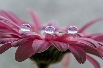 Druppels water op gerbera von Ron Meijer Photo-Art
