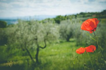 Close up klaproos bij een Toscaanse olijfboomgaard van Natascha Teubl