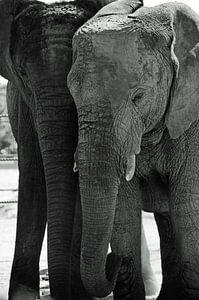 Zwart wit olifanten