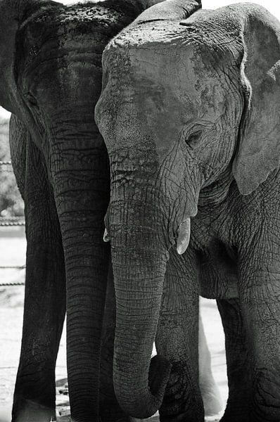 Zwart wit olifanten van Nora Verhoef