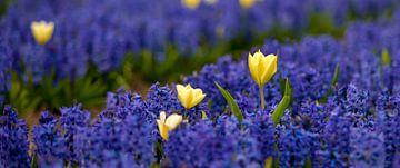 Tulpen in een hyacinten veld 01 van Arjen Schippers