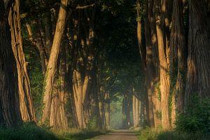 Acacias at Sunrise