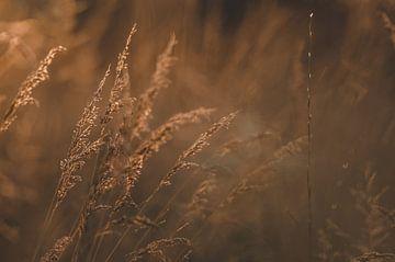 Korn im letzten Licht. von Cas Mulder