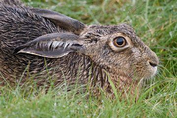 Feldhase,  Hase ( Lepus europaeus ) detailreiche Nahaufnahme eines ruhenden Hasen, wildlife, Europa. von wunderbare Erde
