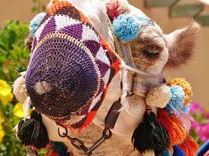 Egypt Camel van