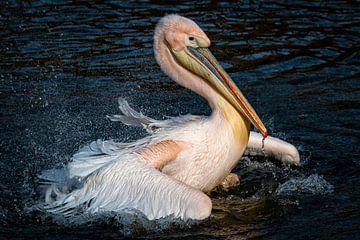 Ein Pelikan wäscht sich an einem Sommertag von Jimmy van Drunen