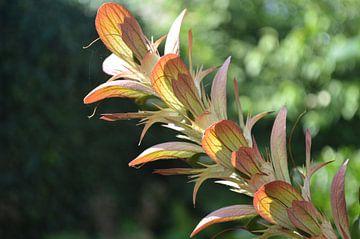 Acanthus in herfstkleur van Ingrid Bargeman