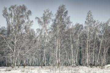 Berkenbos Siberië van Peter Poppe
