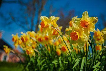 Narcissen volop in bloei. van Henk Cruiming