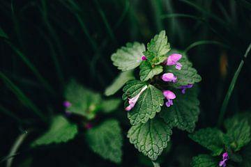 Gundermann mit Blüten von Katrin Friedl