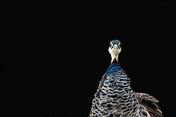 Pfau, Vogel, Pfau auf schwarzem Grund, Vgelportrait von Nadine Rall