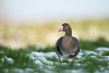 White-fronted Goose *Anser albifrons* van wunderbare Erde