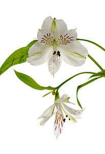 witte alstroemeria  bloemen