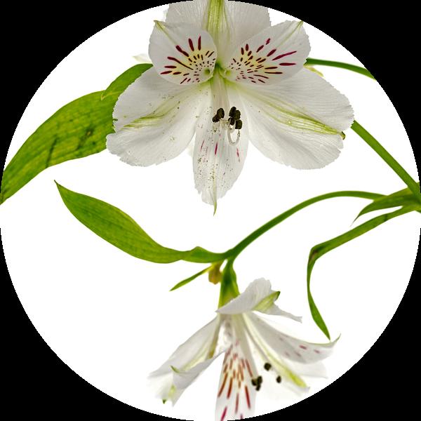 witte alstroemeria  bloemen  van ChrisWillemsen