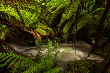 Australië Varen - Paradijs - Tasmanië Regenwoud