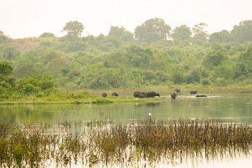 Landschap buffels in het wildpark van Nicole Nagtegaal