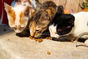 Türkische Straßenkatzen