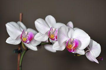 Een bloeiende orchidee van Philipp Klassen