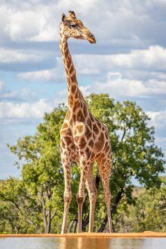 Een giraffe reikend tot de hemel. van Gunter Nuyts