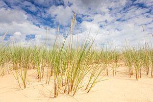 Helmgras op zandduinen Aekingerzand